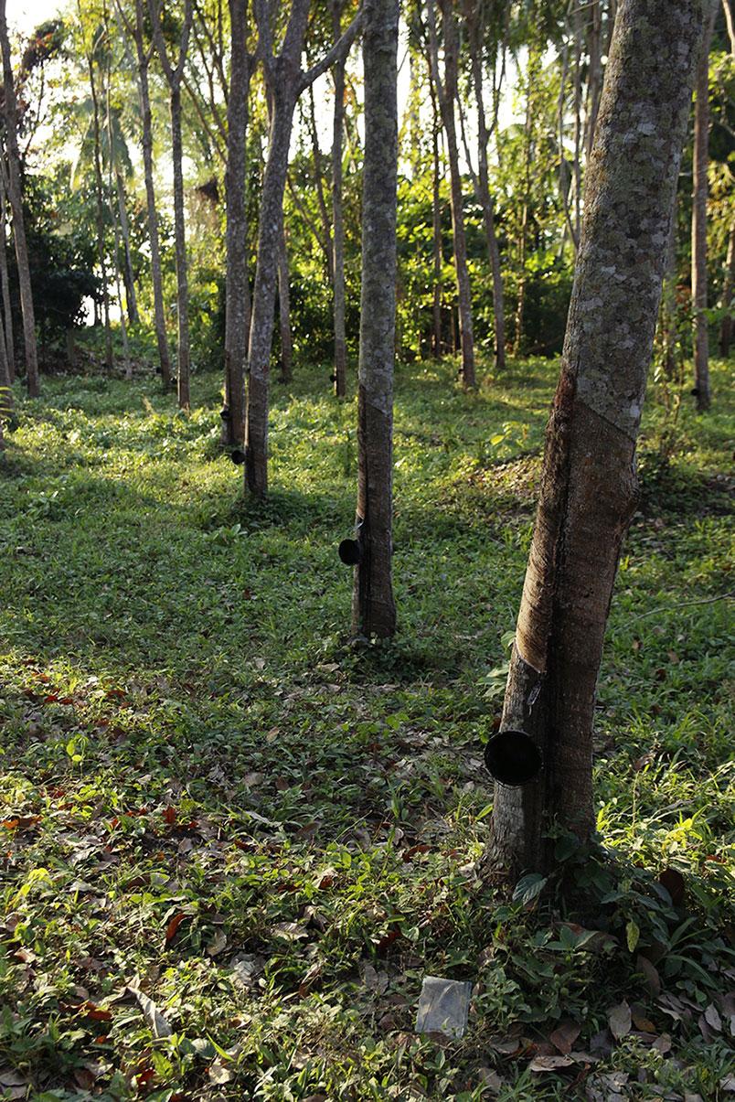 las kauczukowy Tajlandia