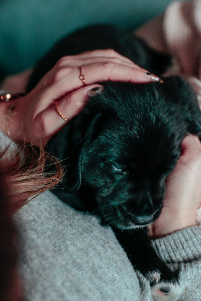 czarny labrador