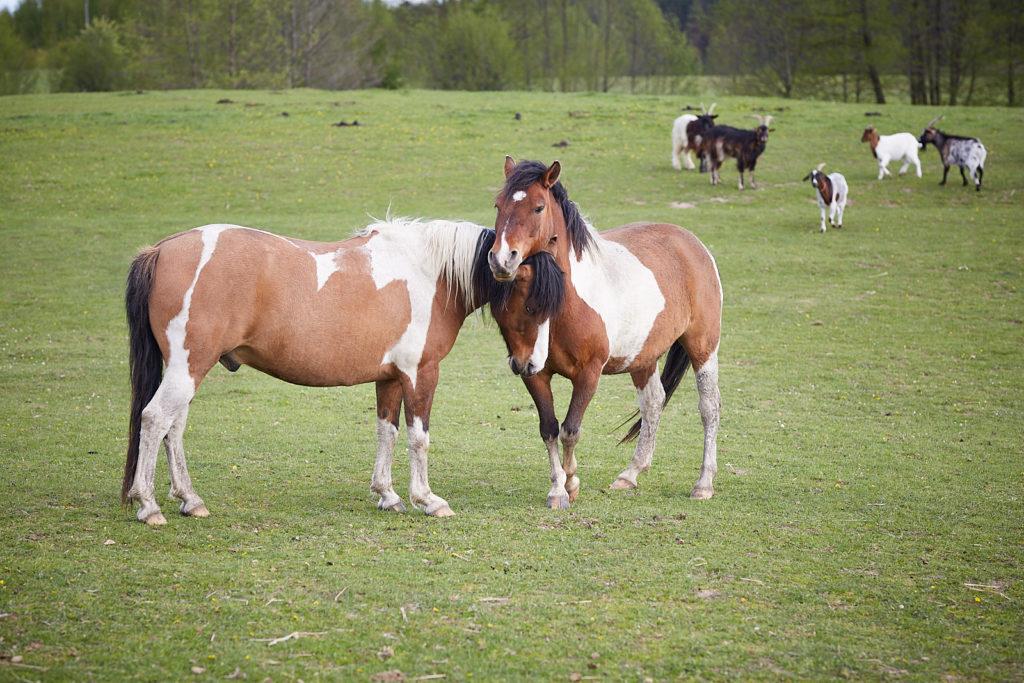 konie Mazury